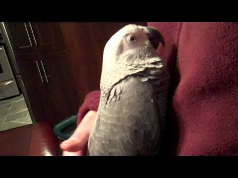 Griffin the African Grey Parrot cuddling.MP4