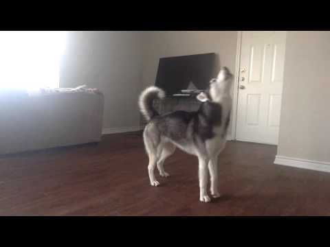 My Husky, Sequoia, Howling while Home Alone