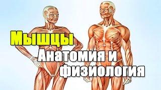 видео Мышцы человека или анатомия мышц