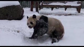 Панды резвятся в снегу — видео с горнолыжного курорта в Китае