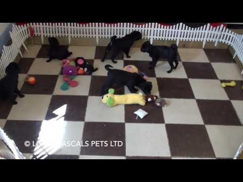 Little Rascals Uk breeders New litter of Pug x puppies - Puppies for Sale UK