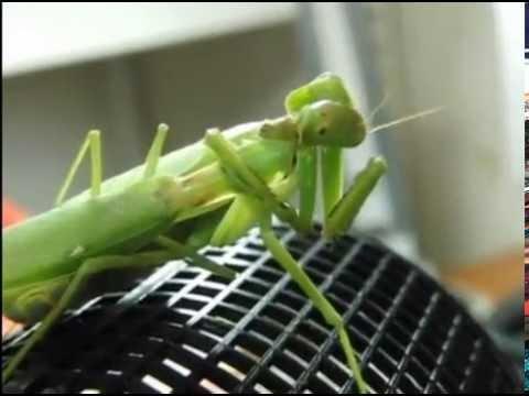 Вопрос: Какие насекомые убивают своих партнеров после спаривания?