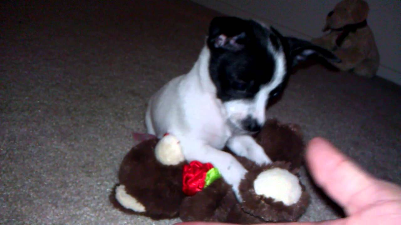 rat terrier/ chihuahua mix,puppy - YouTube
