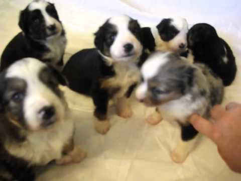 6 Miniature Australian Shepherd puppies 5/5/2015 dob playing