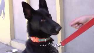 Arwin - German Shepherd Available For Adoption