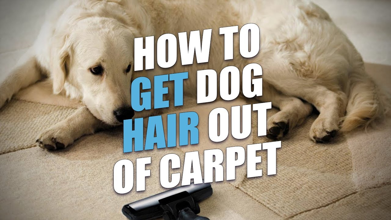 How To Get Dog Hair Out Of Carpet A Full Guide
