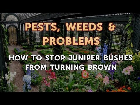Stop Juniper Bushes From Turning Brown