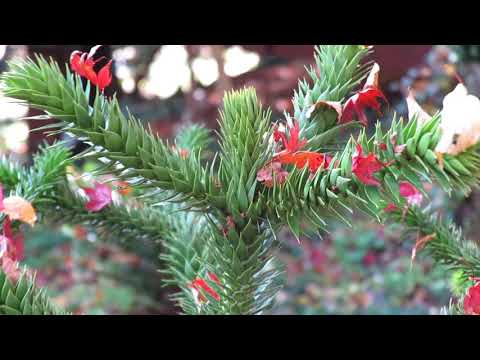 Araucaria araucana blahočet čilský