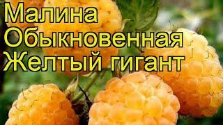 видео Малина Желтый гигант