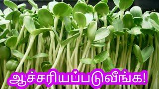 வெந்தயக்கீரை செடியை வளர்ப்பதுஎப்படி/வெந்தயக்கீரை/Fenugreek Spinach/how to grow fenugreek/Methi/கீரை