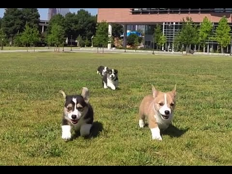 GoPro: Corgi Puppies at Georgia Tech