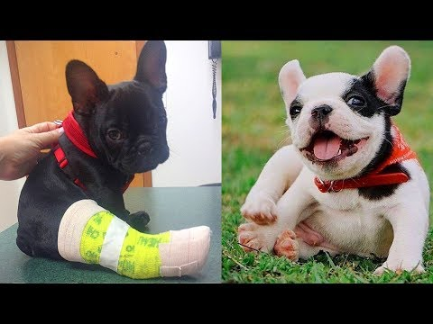 Try not to laugh | Cute and Funny French Bulldogs doing funny things # 21 (2019)| Cute Pets
