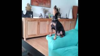 Pinscher + Guaranteed to make your dog howl