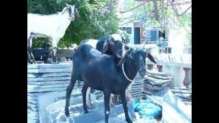 козел уговаривает козу на любовь :) СМОТРЕТЬ СО ЗВУКОМ!!!