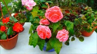 Вечно цветущая бегония))) Цветок который радует нас круглый год)))