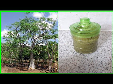 DIY HOMEMADE MORINGA CREAM TO CURE ECZEMA