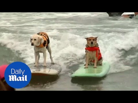 Who Is Top Dog? The Amazing Surfing Pups Of California - Daily Mail