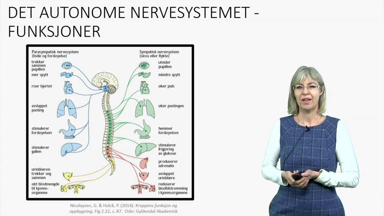 Det autonome nervesystemet: Fysiologi