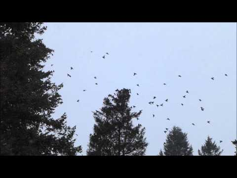 Flock of small birds.  I Think some kind of starlings.