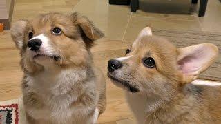 Cute Corgi Puppies Flap Ear / コーギー子犬のお耳 20150704 Part 8 Welsh Corgi Pembroke