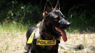 1. A Belgian Malinois dog named Lucas rescued Hancock County Deputy...