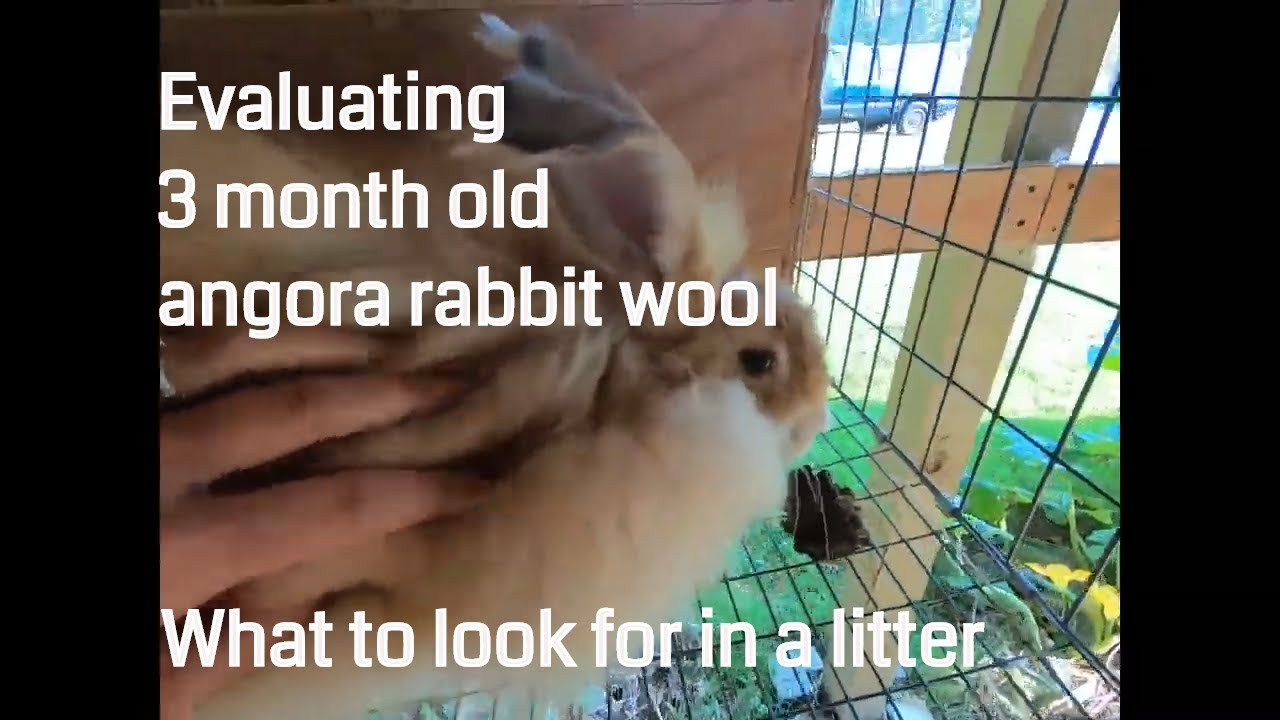 Evaluating 3 month old angora rabbits for wool growth