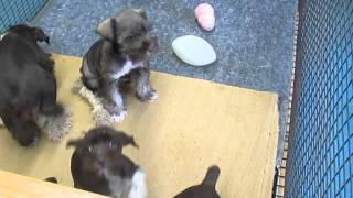 Chocolate Miniature Schnauzer Puppies For Sale In Pa.