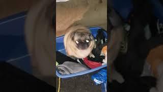 Vibing Pug (Original) with no music