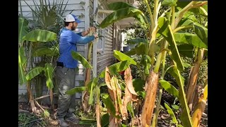 How To Care For Your Banana Plants