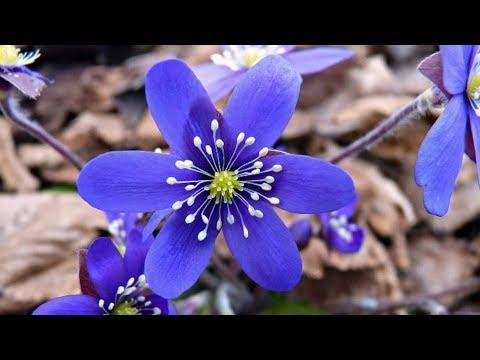 Весенние цветы с названиями. Красивые фото и спокойная музыка.