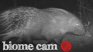 Porcupine Camera Trap Footage   Biome Cam