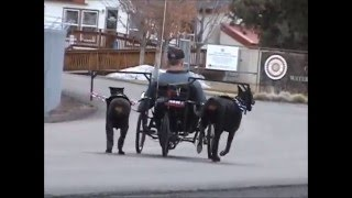 Strong Imported Champion Doberman Male Alfa Ipo1 Pulling A Three Wheeled Bike
