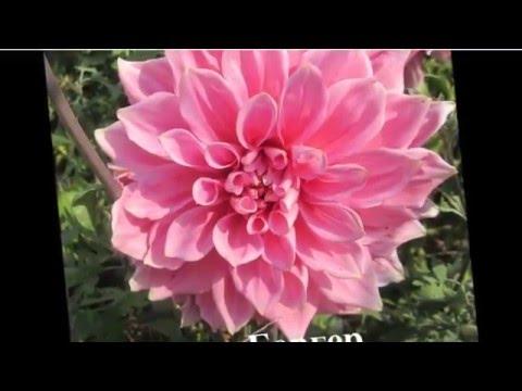 Cмотреть видео Георгины в дизайне сада  Фото с названием сорта
