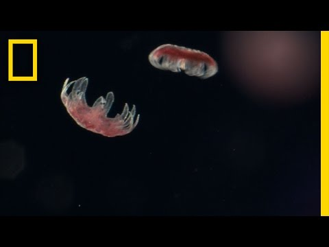 Sea Nettle Jellyfish Birth | Untamed Americas