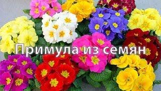 видео Примула