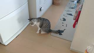 めっちゃ獲物をねってる 世界遺産の宗像大島からやってきた世界遺産猫の...