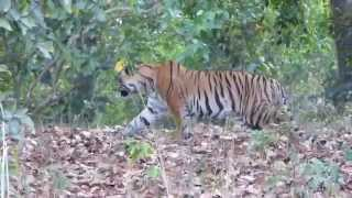 Young Male Tiger stalking prey in Jim Corbett National Park