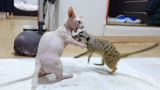 "Giving cat Catnip to meerkat resulted in fist fight ""Cat Nip"""