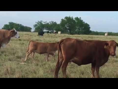 Braford,Brangus, and Few Crossbred Cows, calves by Braunvieh or Angus