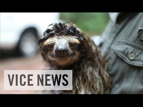 The Sloths That Could Cure Cancer: Bio-Prospecting in Panama