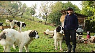 La stâna d-lui Opriș din Țara Lăpușului | Oi breze și câini ciobănești de bucovina - video 2020