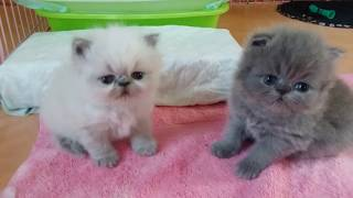 So Sweet and Precious ...Those 3 Week Old Persian and Himi Babies
