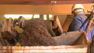 Climate change threatens S Africa tea crops