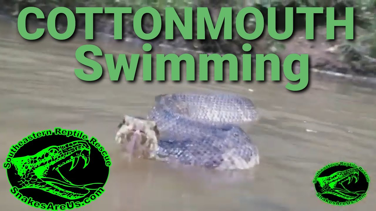 Cottonmouth Swimming Youtube