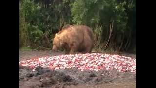 Изгнание старым медведем молодого с территории(Изгнание старым медведем молодого с территории Образ жизни и питание Бурый медведь — лесное животное...., 2012-03-10T19:10:12.000Z)