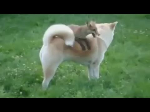 Fox vs dog. Wild fox playing with the dog