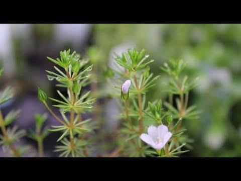 Como cuidar da planta Bacopa Myriophylloides em um aquário