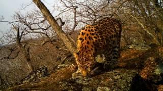 Дальневосточные леопарды в дикой природе / Amur leopards