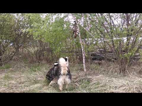 видео: щенок рел. притравка по кунице