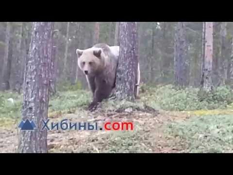 Медведь на роднике у Оленегорска